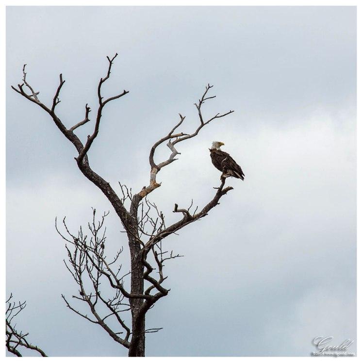 EagleTreeweb