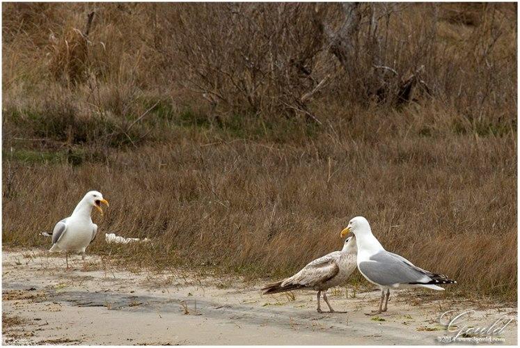 Gulls1web