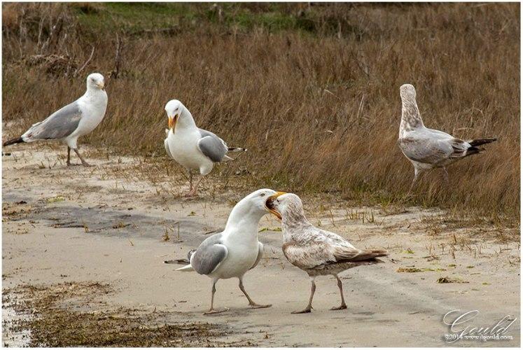Gulls2web
