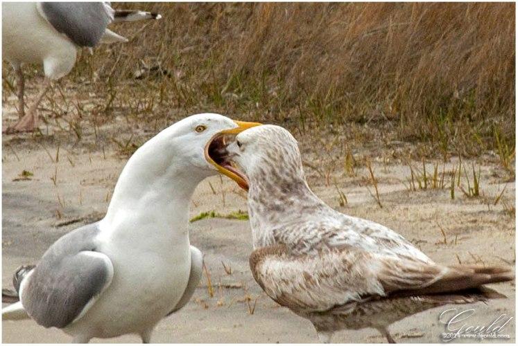 Gulls2webb