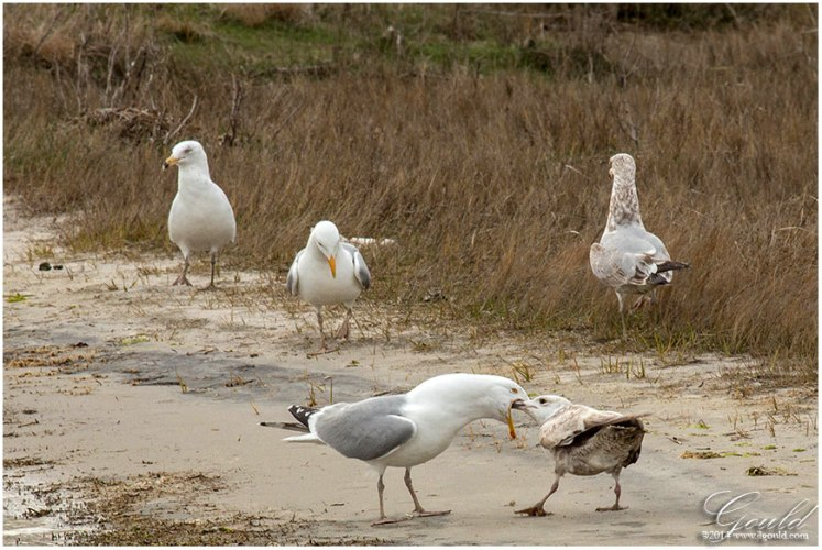 Gulls3web