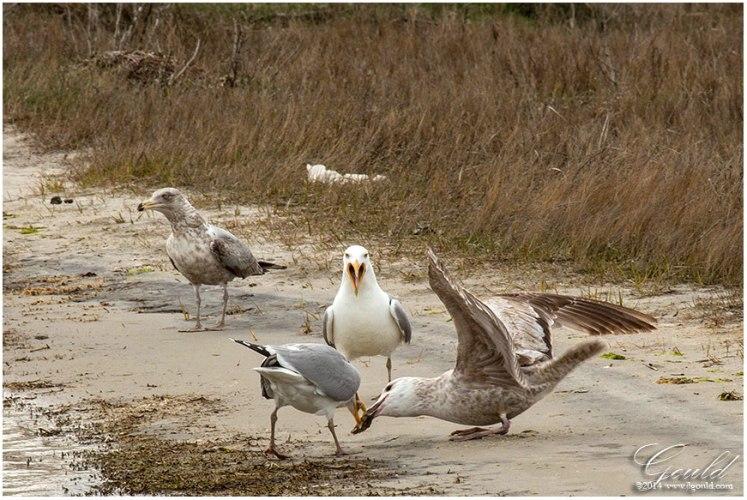 Gulls4web
