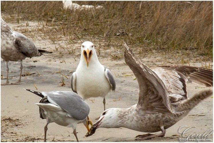 Gulls4webb