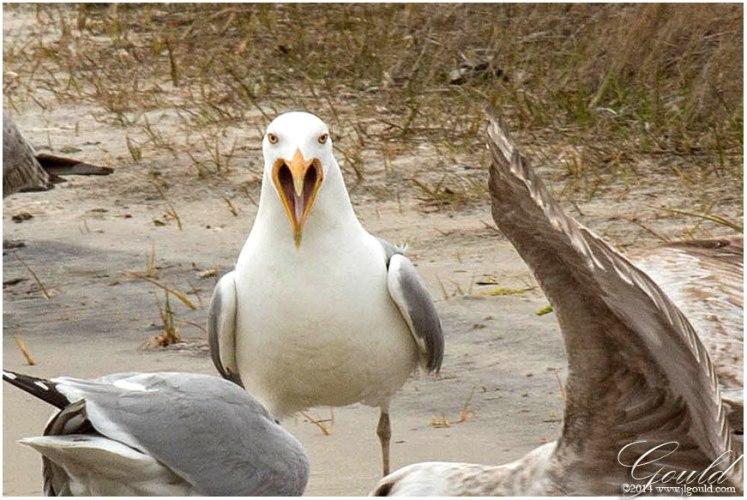 Gulls4webc