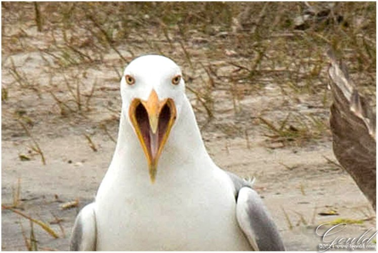Gulls4webd