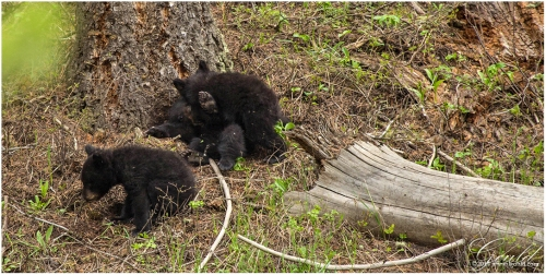 BlackBearCubs7218web
