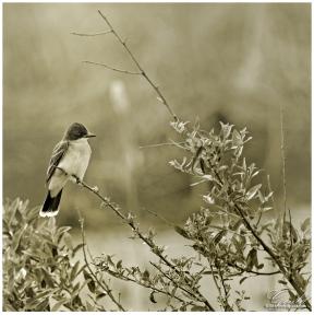 ThisKingbirdweb