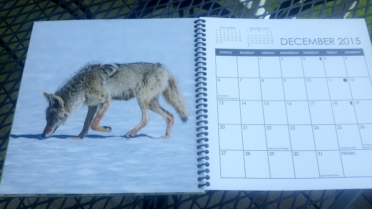 2015 Desktop Calendar- December.  Coyote, Yellowstone National Park, Wyoming