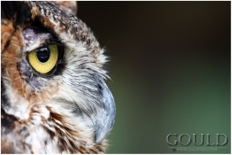 GreatHornedOwlProfileweb